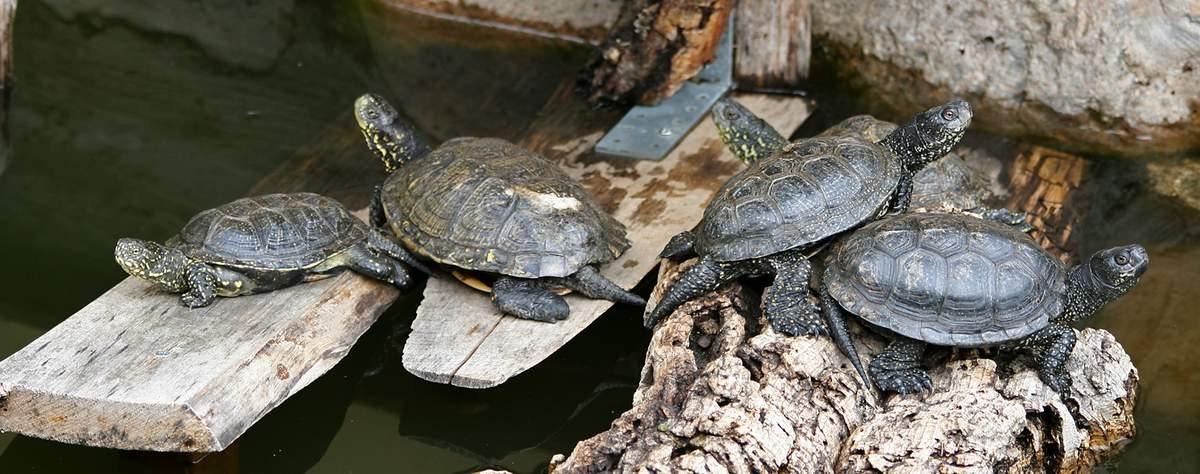 Спаривание болотных черепах