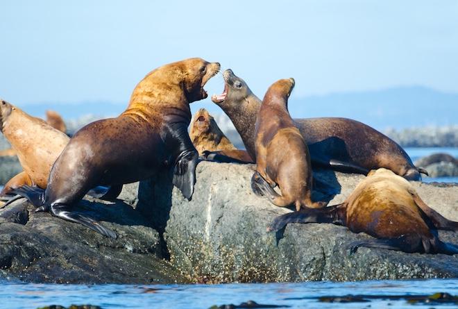 Семья морских львов