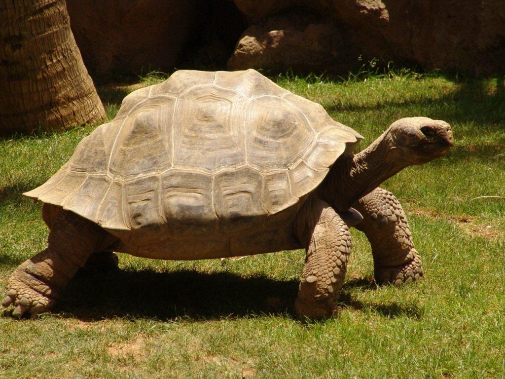 Слоновая (галапагосская) сухопутная черепаха