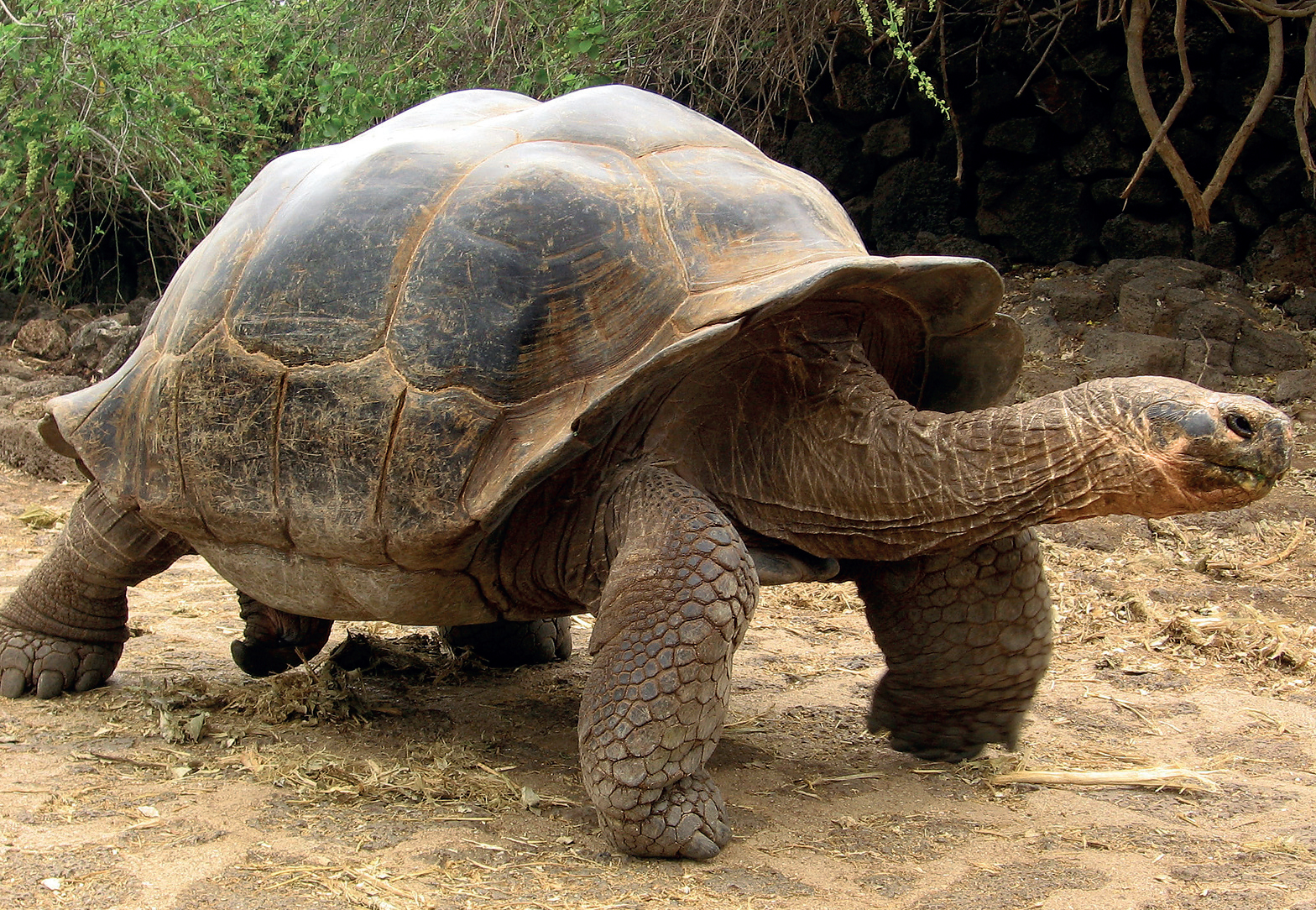 Галапагосская черепаха (слоновая)