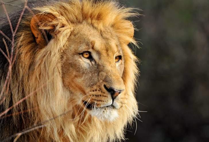 Особенности жизни льва