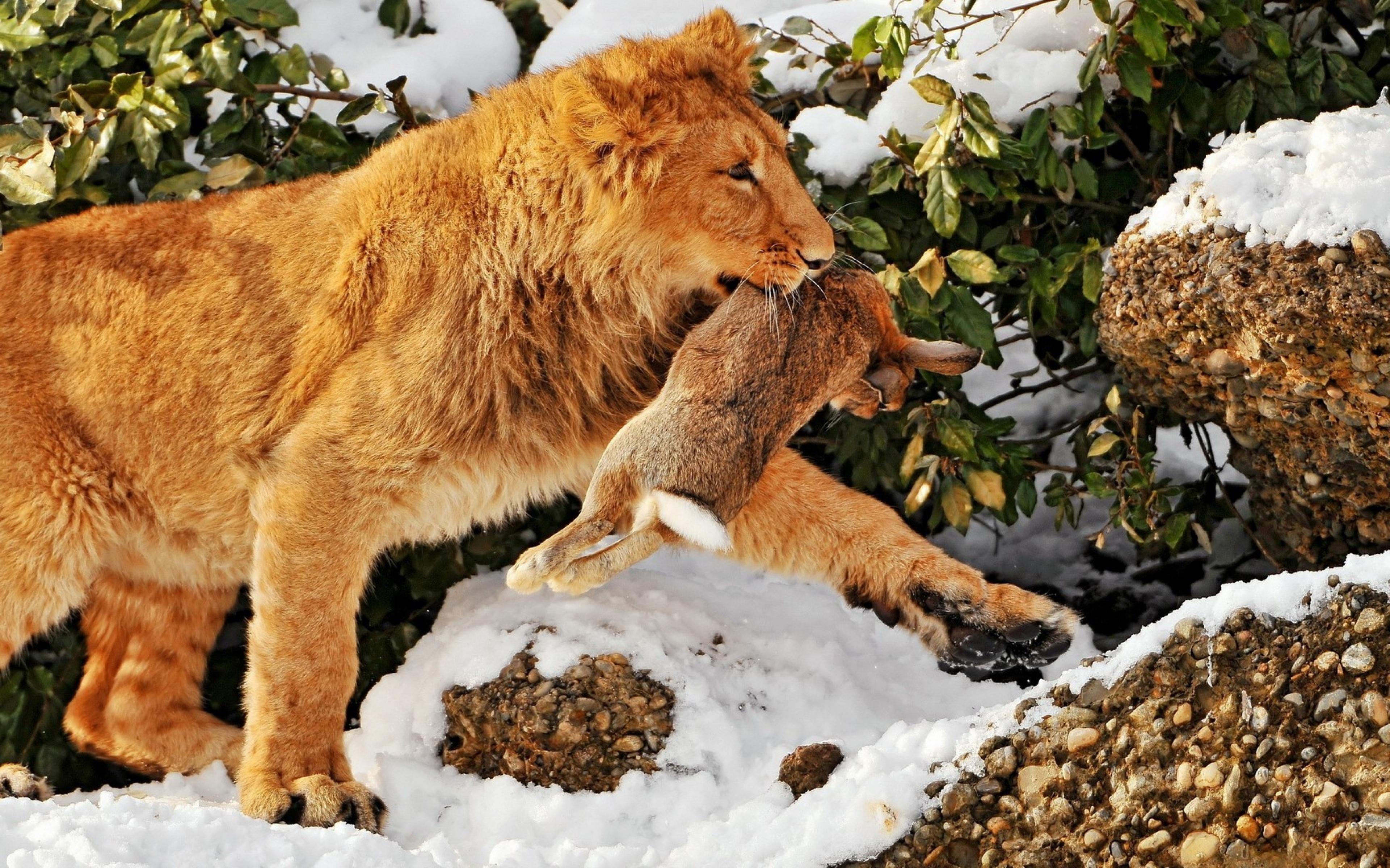 Чем питается лев