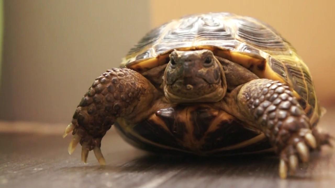 Сухопутная черепаха. уход в домашних условиях 90