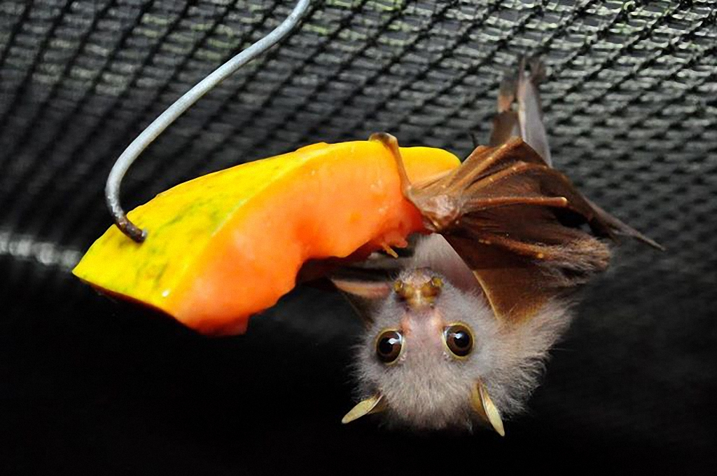Чем кормить летучую мышь дома