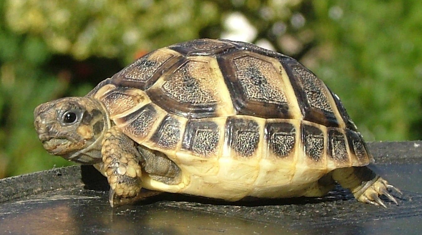 Размер сухопутной черепахи