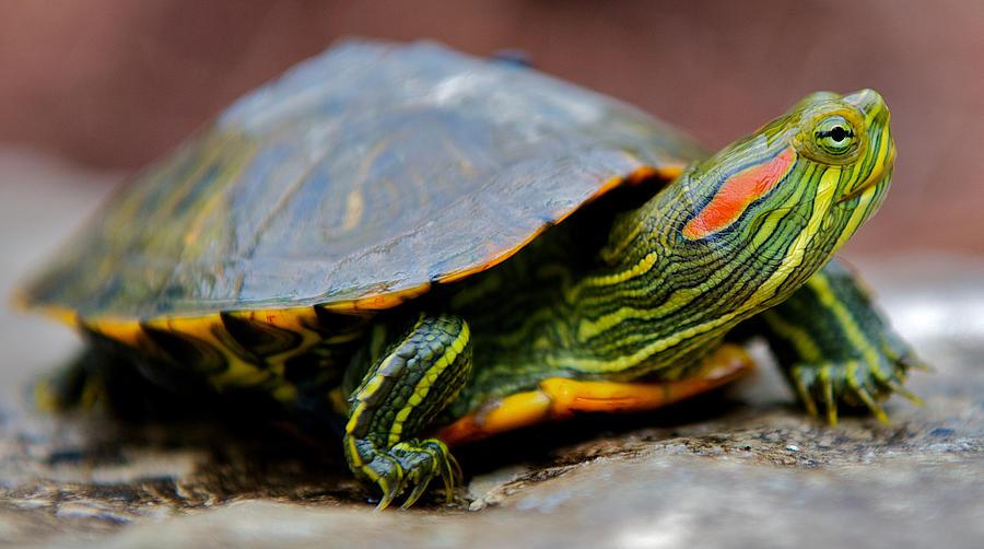 Размеры черепахи