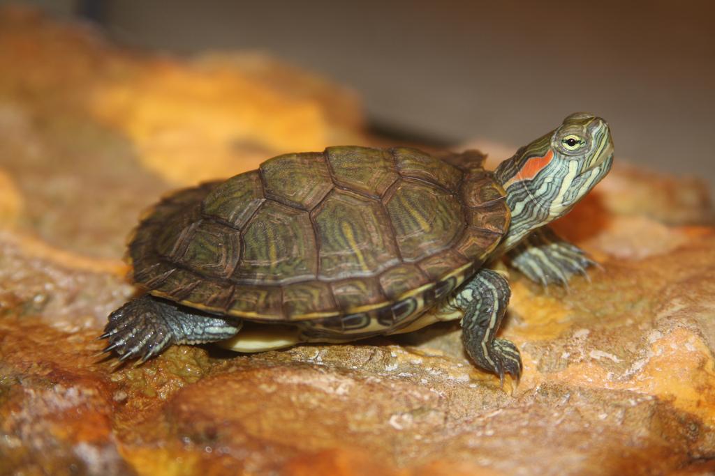 Красноухая черепаха – описание и внешняя характеристика