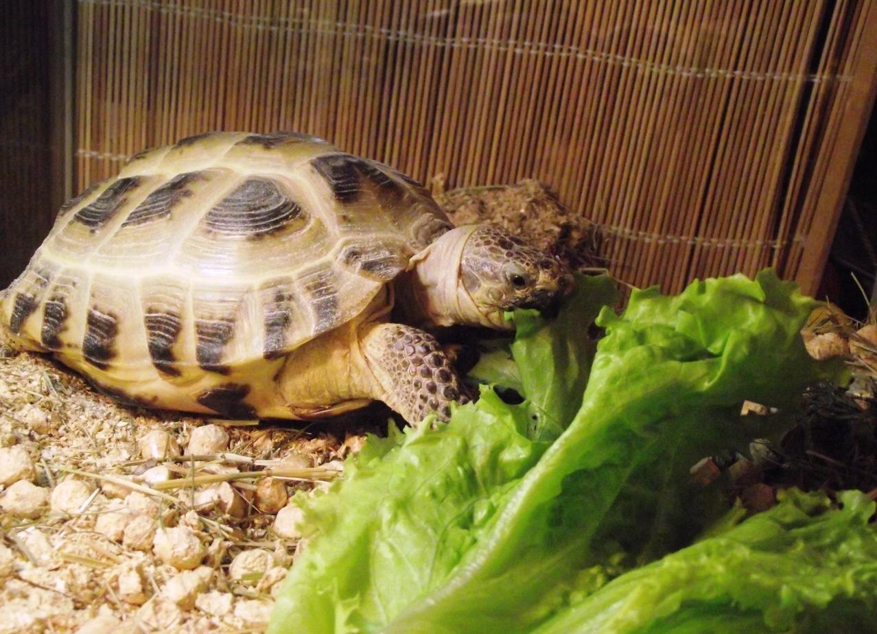 Еда для черепахи в домашних условиях
