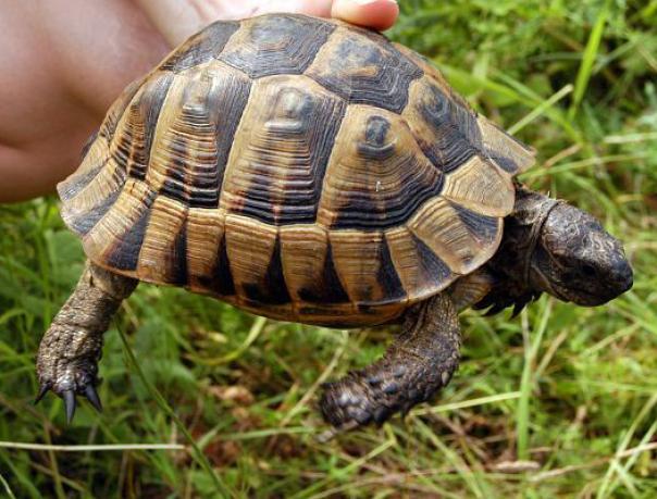 Египетская сухопутная черепаха