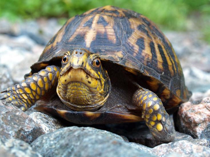 Водяная черепаха на суше