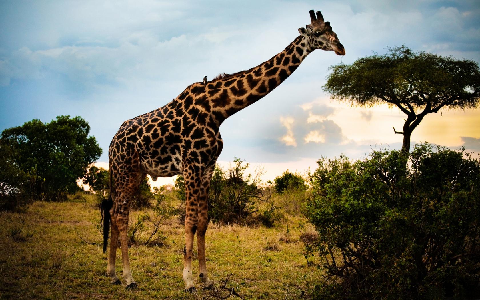 Рост жирафа