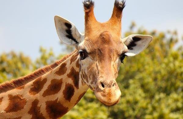 Окрас жирафа