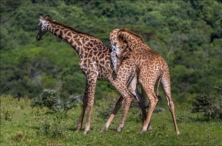 Размножение жирафов
