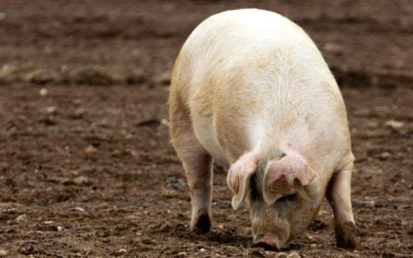 Свинья - характеристики