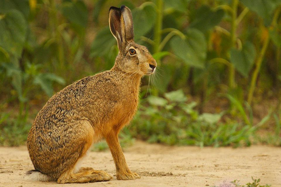 Внешний вид зайца