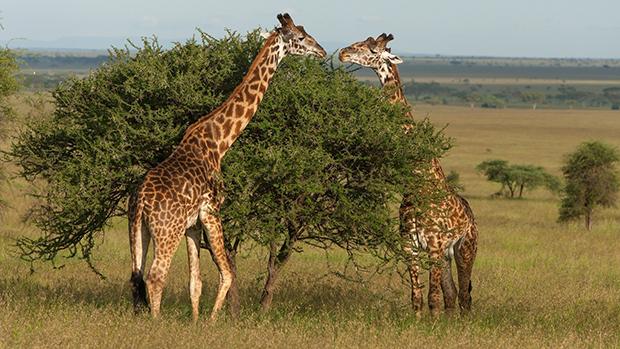 Среда обитания у жирафов