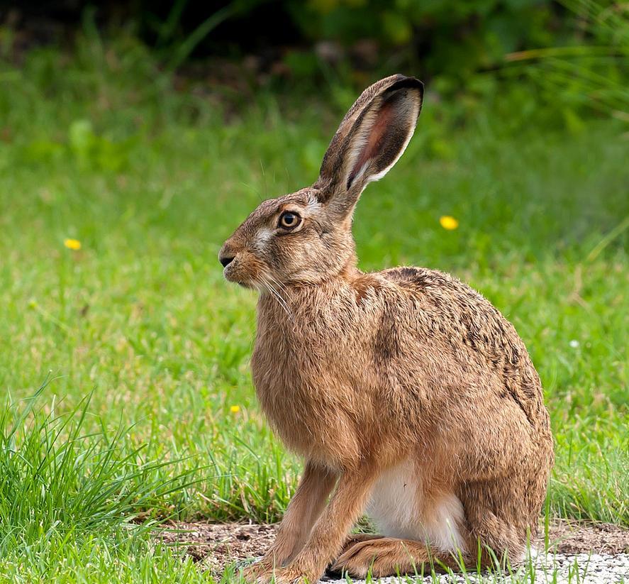 Окрас зайцев
