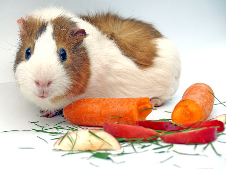 Еда для морской свинки