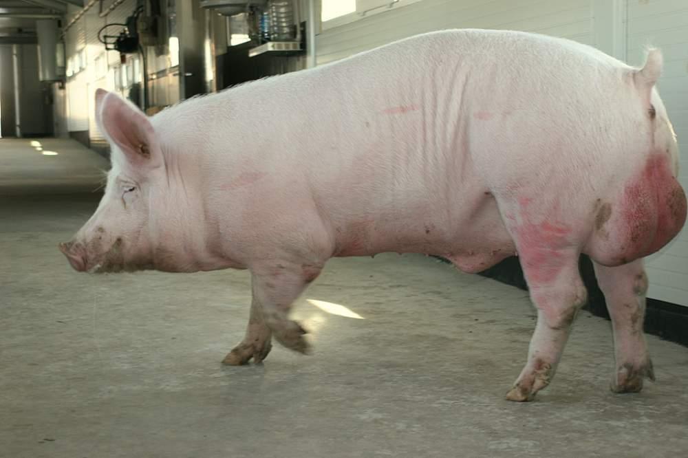Вес свиньи