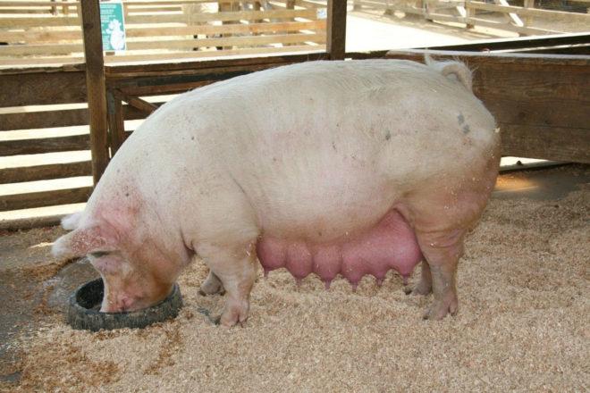 Кормление свиньи