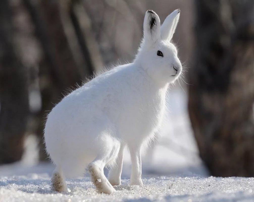 Заяц–беляк