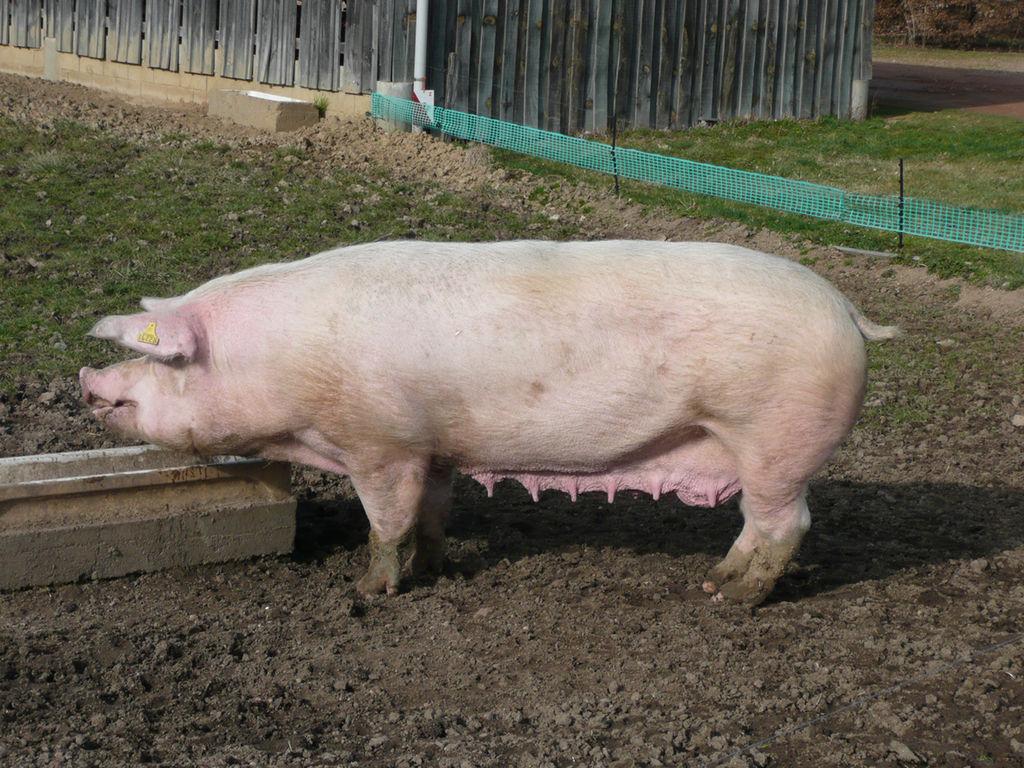 Сколько живет свинья