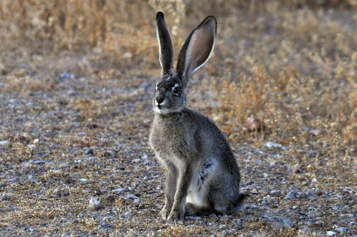 Картинки уши зайца