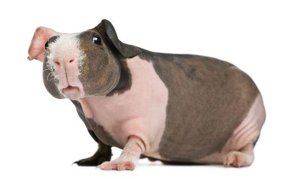 Морская свинка Скинни