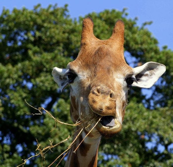 Что ест жираф