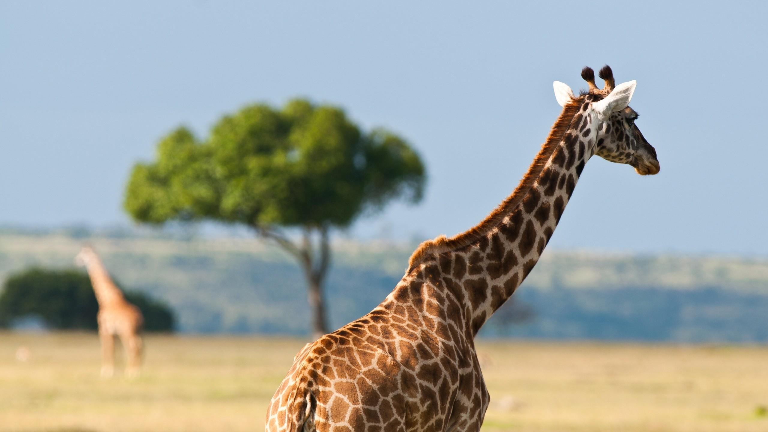 Продолжительность жизни у жирафов