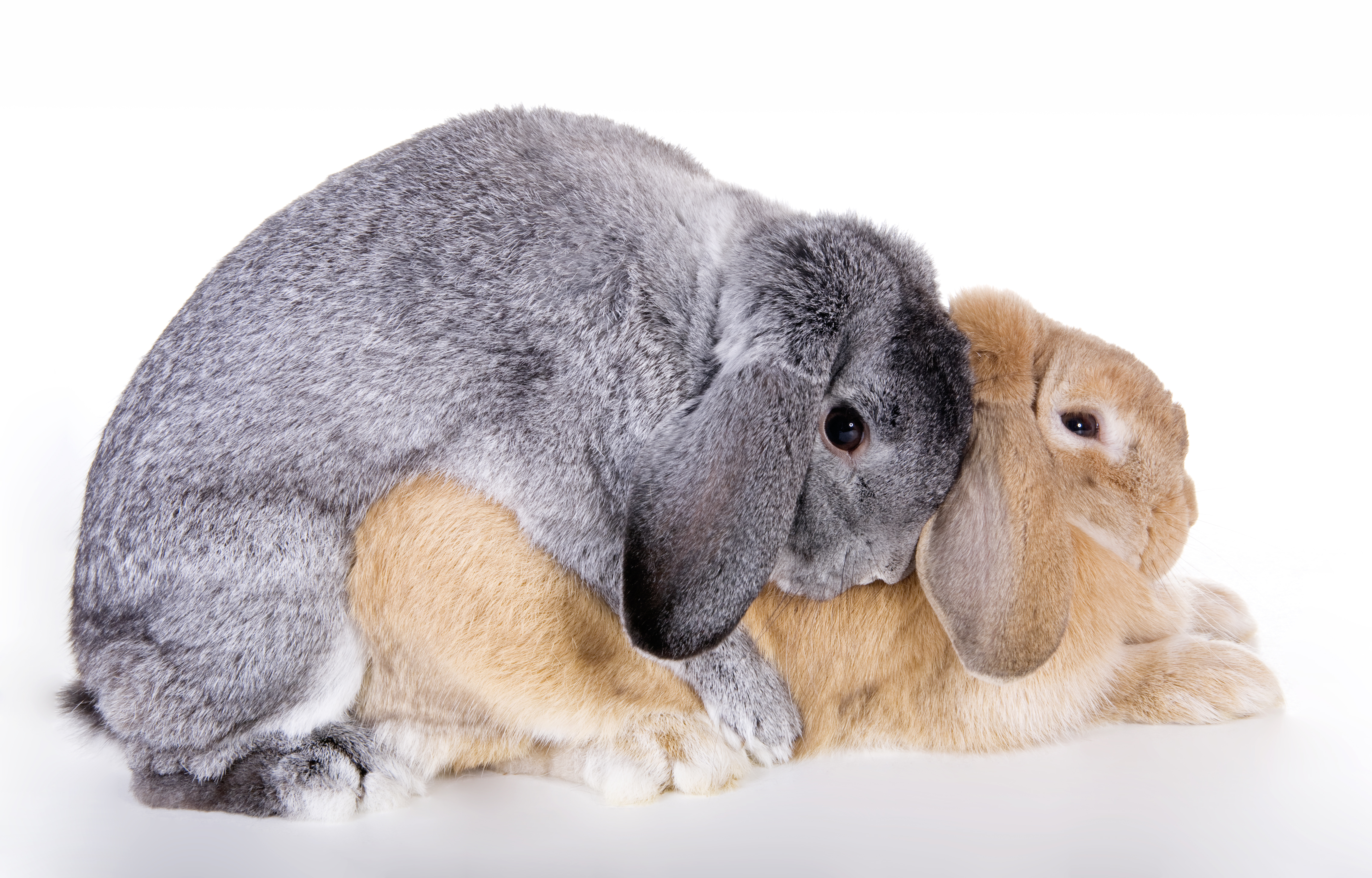 sexing-lop-rabbits-when-do-they-mature