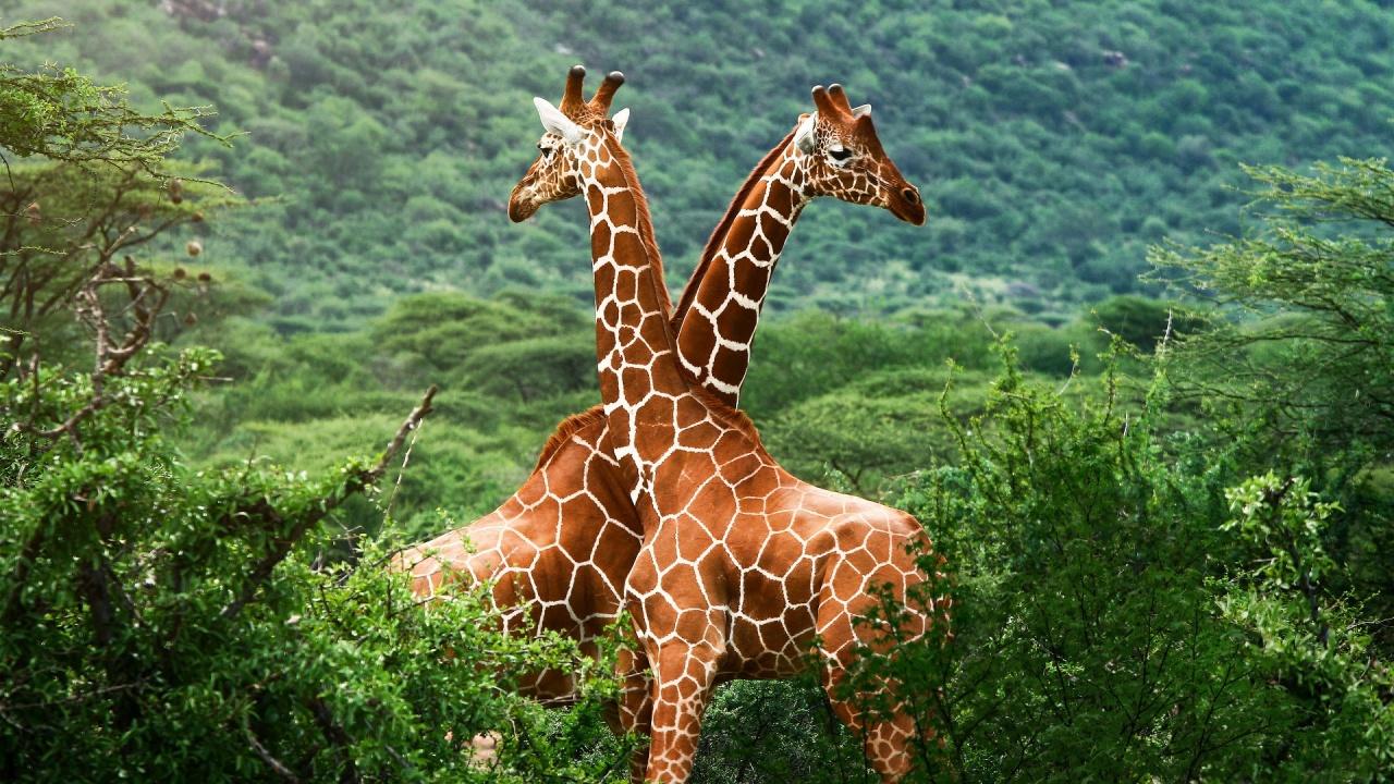 Внешний вид жирафа