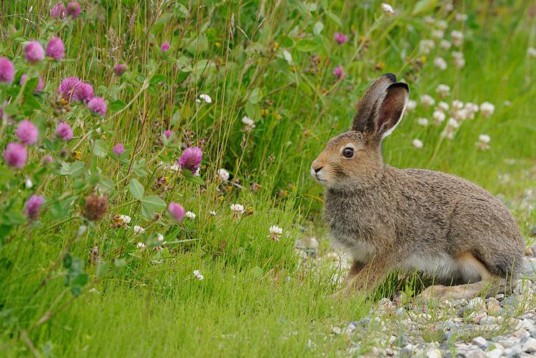 Где обитает заяц