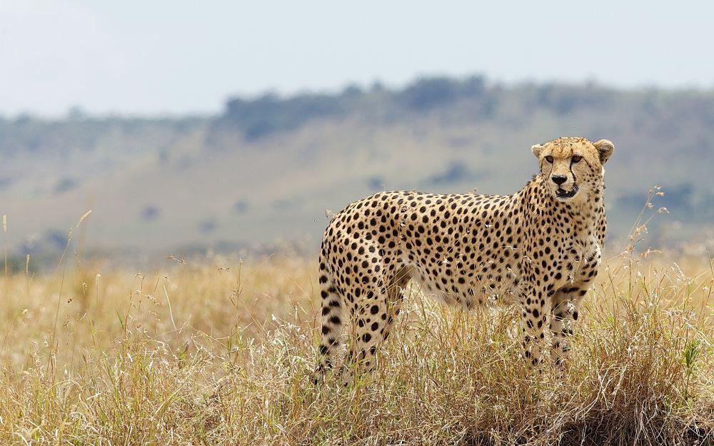 гепард внешний вид