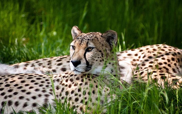 гепард лежит