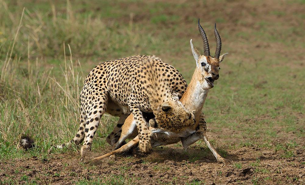 гепард охотится на антилопу