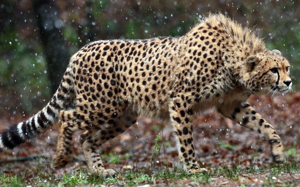 гепард с гривой подкрадывается