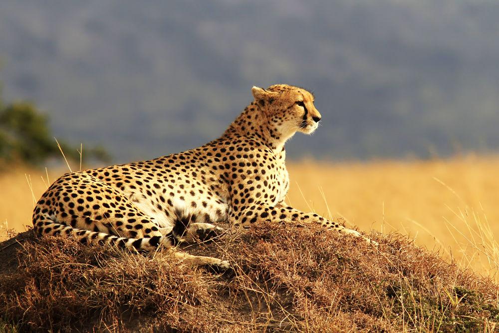 гепард фото хищника