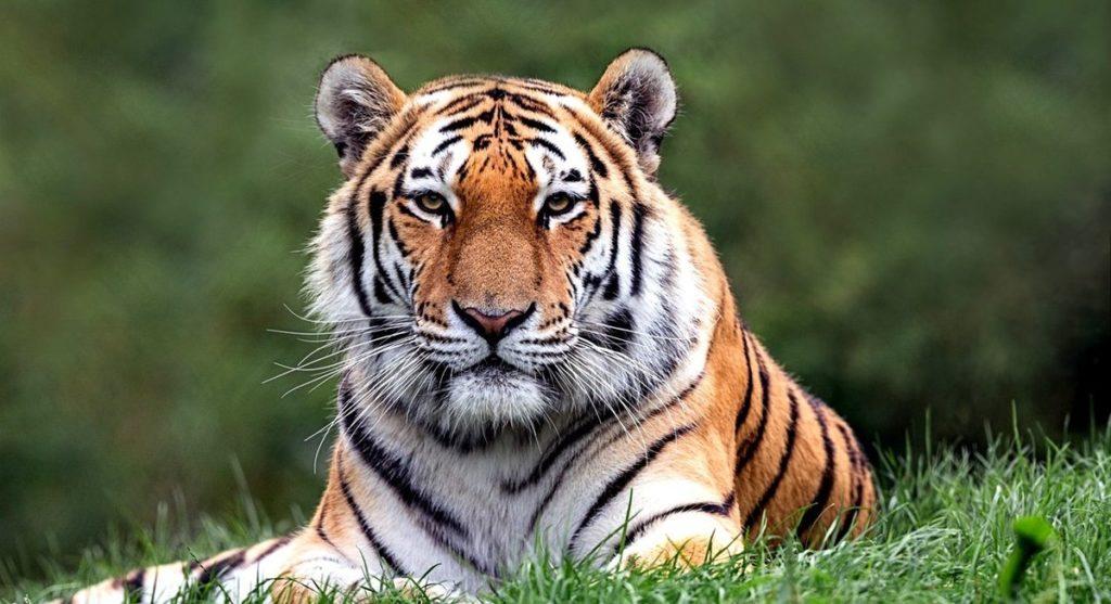 дальневосточный тигр