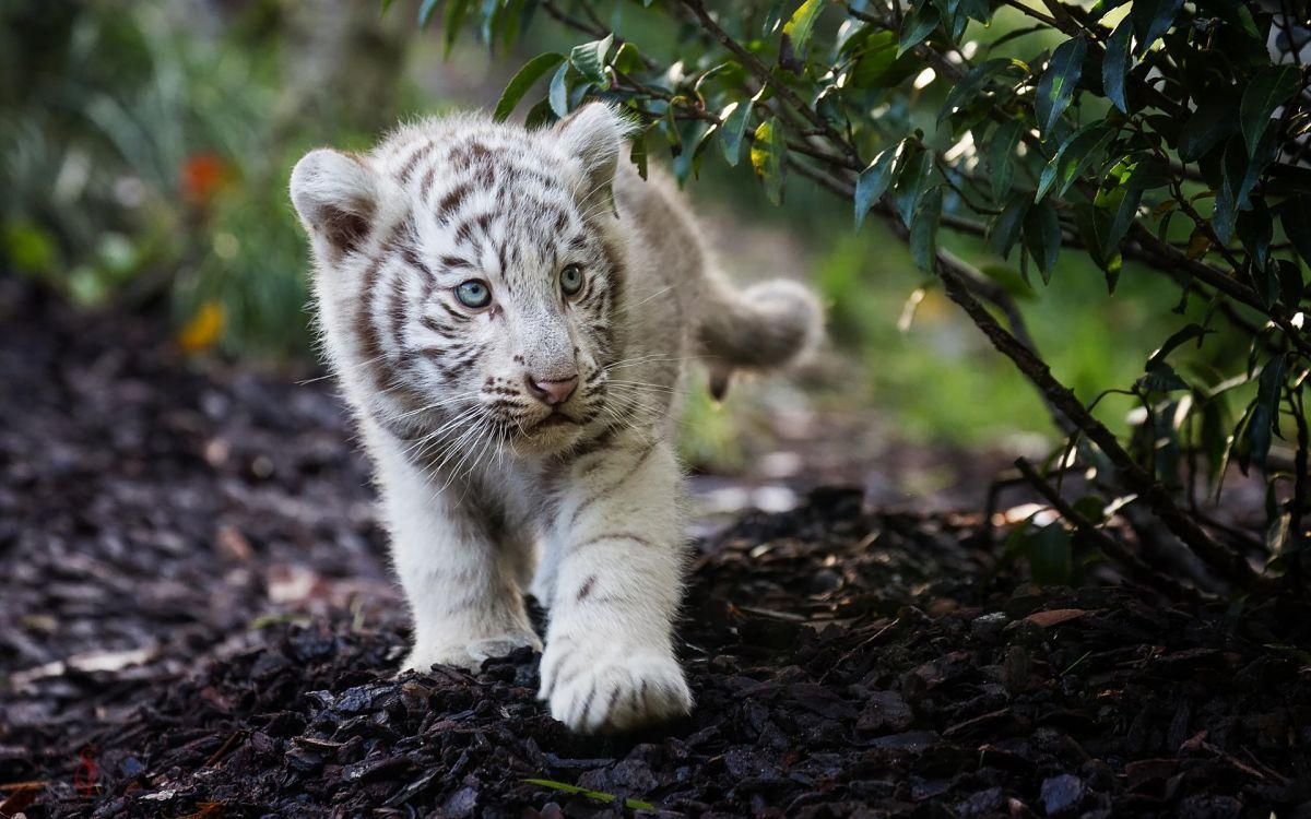 детеныш белого тигра