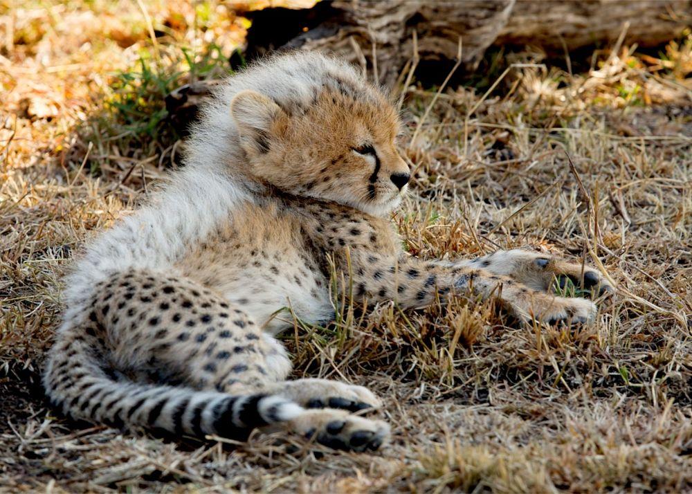 детеныш гепарда с белой шерсткой