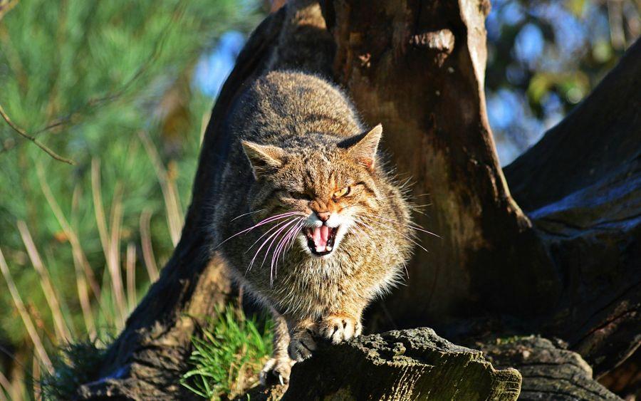 дикий лесной кот злобный
