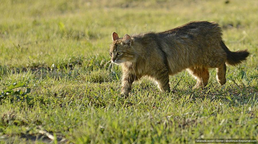 европейский дикий кот в траве
