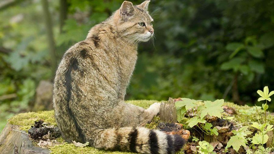 как выглядит лесной кот