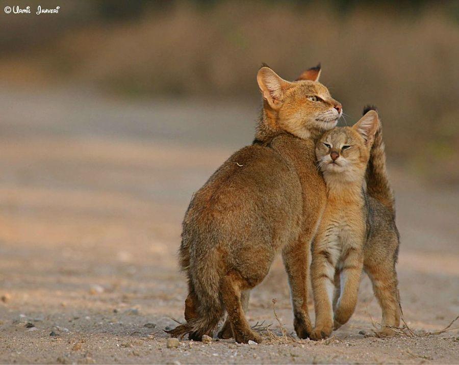 камышовая кошка с котенком