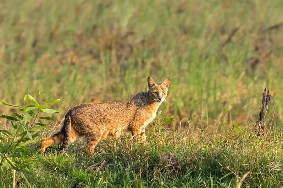 камышовый кот в траве