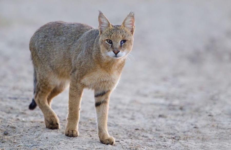 камышовый кот картинка