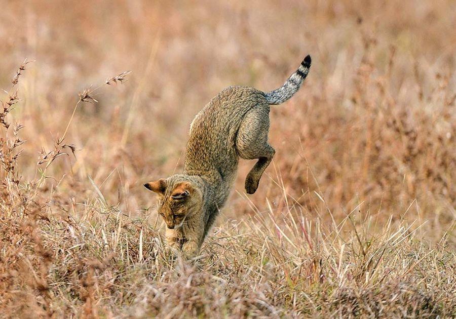 камышовый кот на охоте