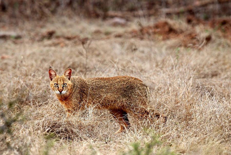 камышовый кот фото в зарослях