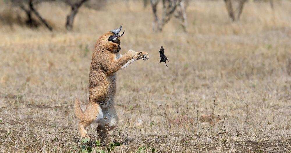 каракал в прыжке за крысой